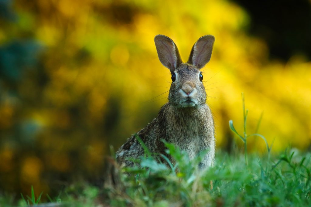 Wild konijn | Hopster vzw
