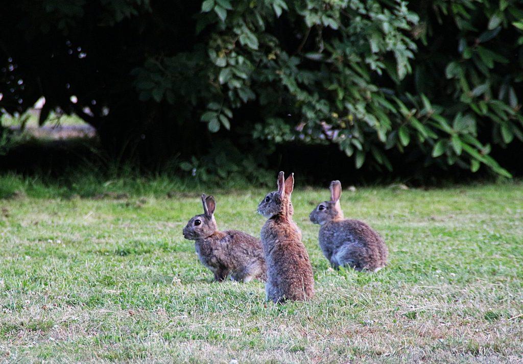 Groep wilde konijnen | Hopster vzw