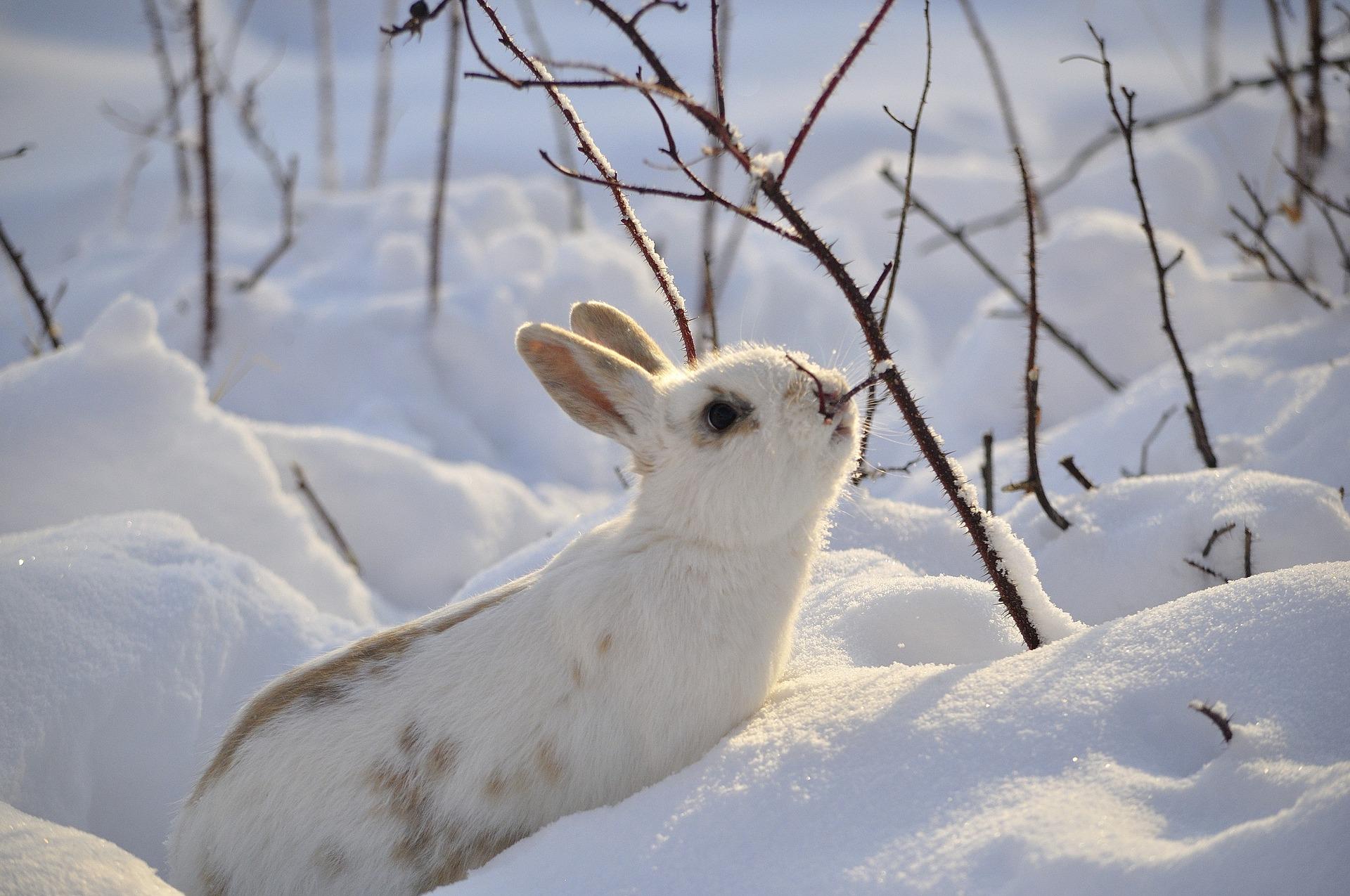 Konijn in sneeuw | Hopster vzw