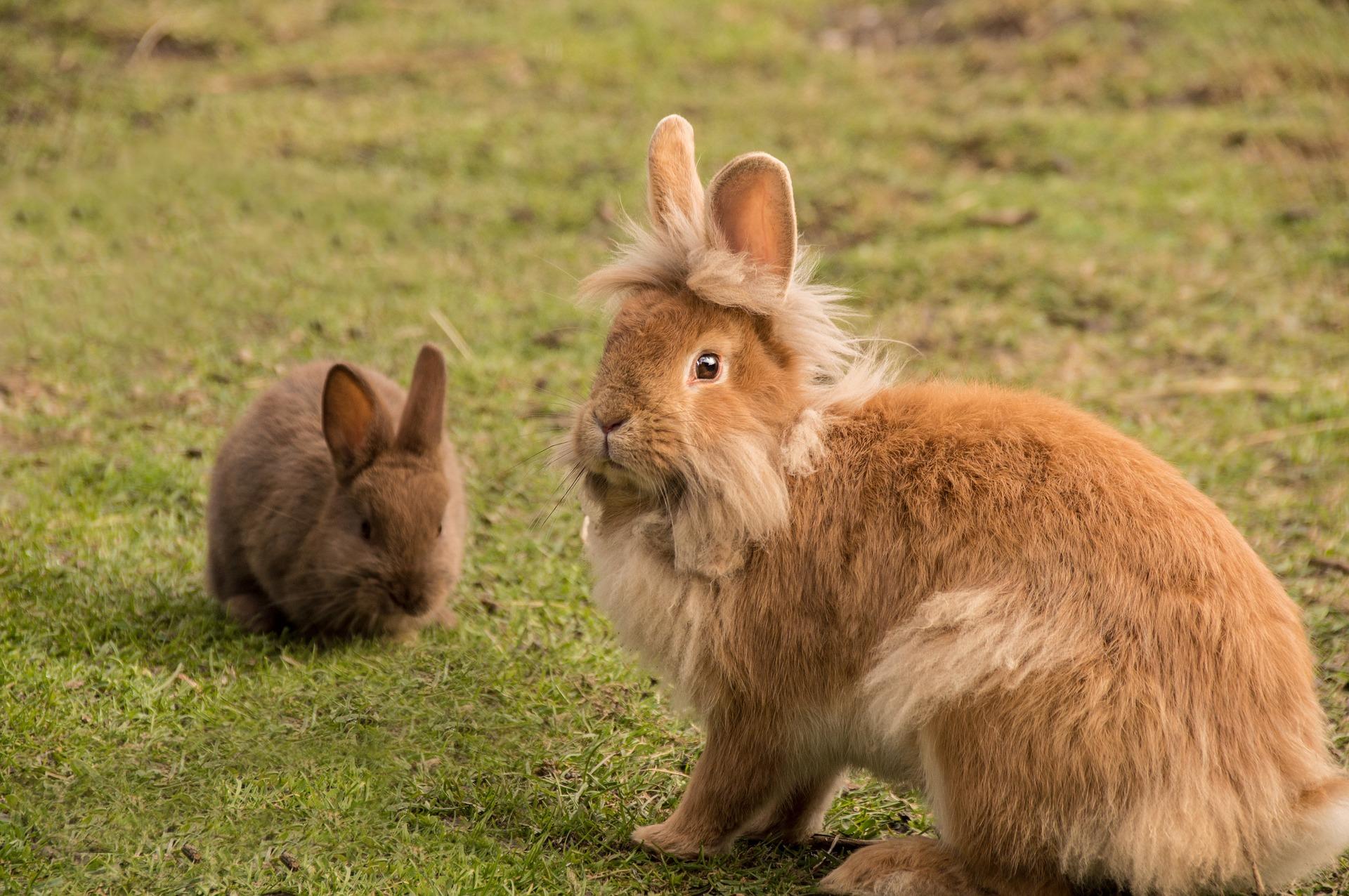 Koppel konijnen | Hopster vzw
