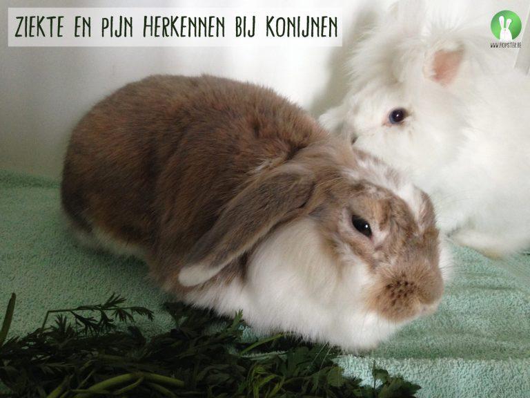 Ziekte en pijn herkennen bij konijnen | Konijnenadviesbureau Hopster