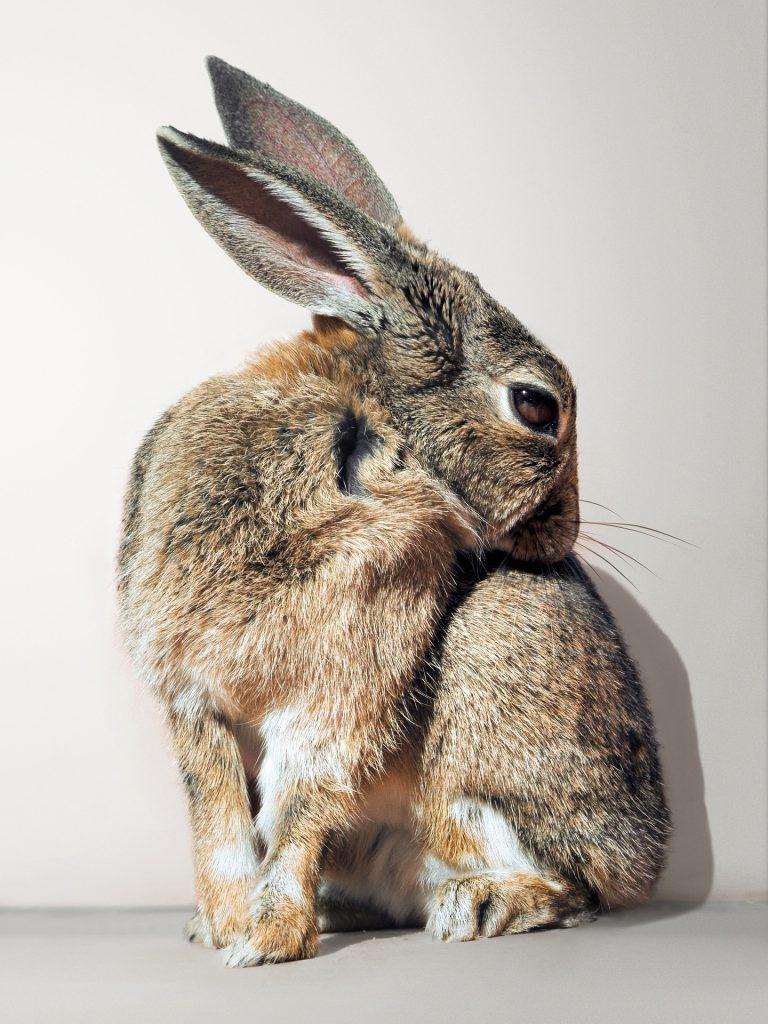 Pijn en ziekte herkennen bij konijnen | Konijnenadviesbureau Hopster