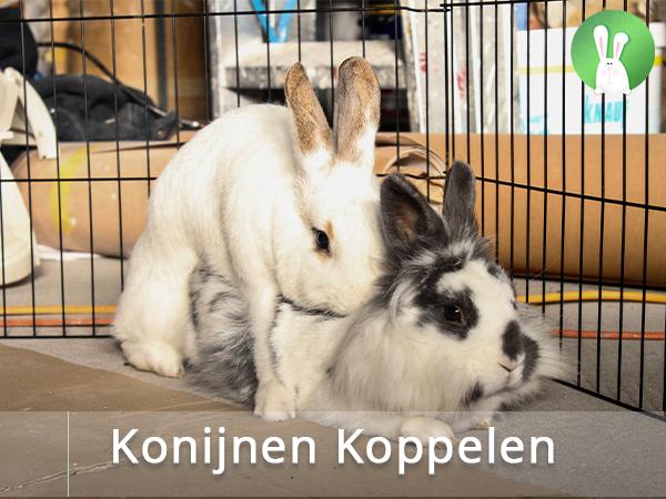 lezing Konijnen Koppelen | Konijnenadviesbureau Hopster